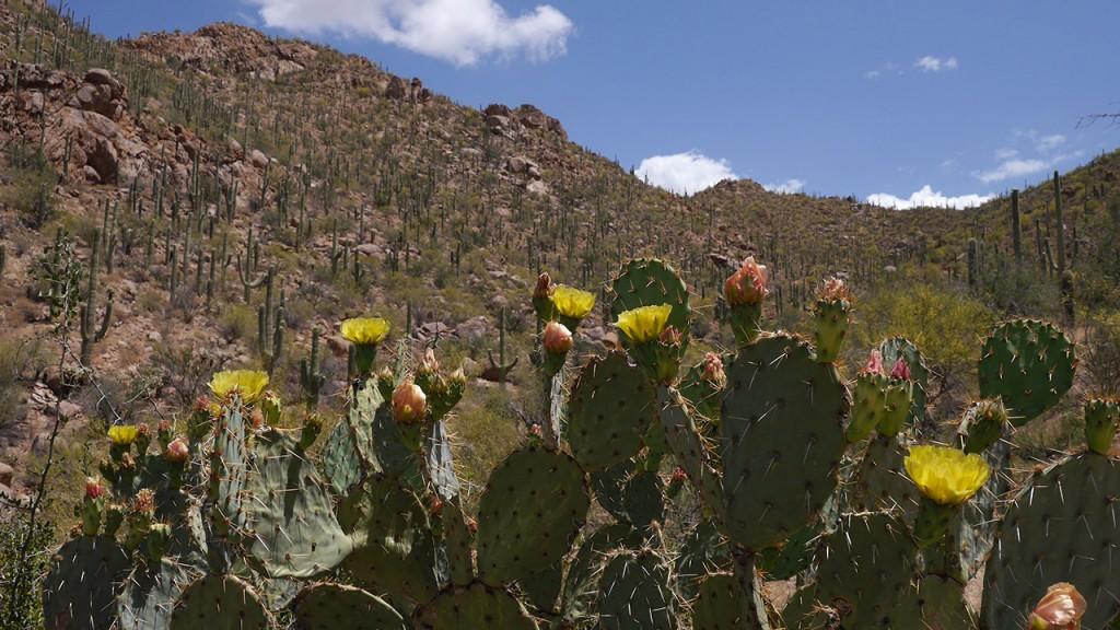 Blühende Kakteen Saguaro National Park