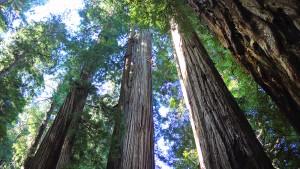 Mammutbäume in den USA