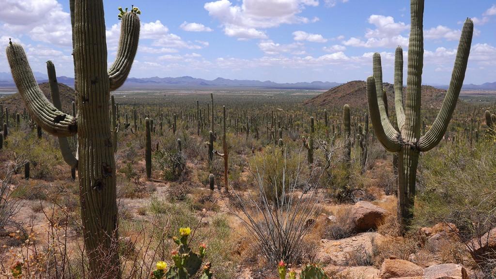 Kakteen USA Saguaro
