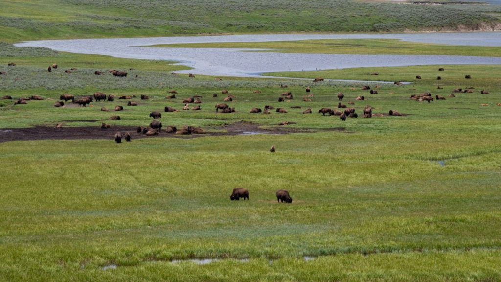 Bisons im Yellowstone National Park.